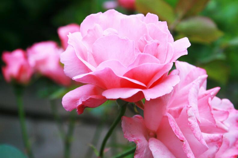 Rosas en jardin