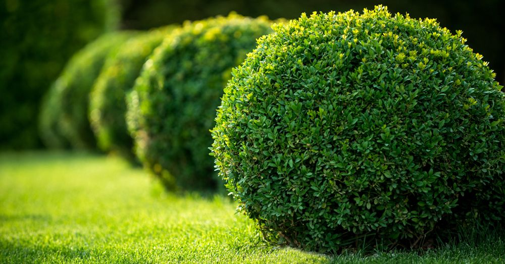 Arbusto bien mantenido
