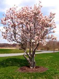 arboles de magnolia