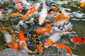 Estanques peces