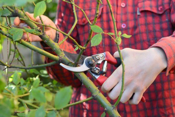 pruning-climbing-roses